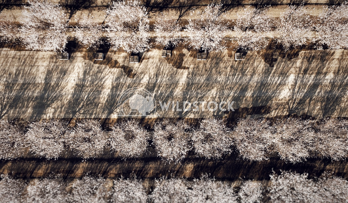 Almonds and the Bees Carolyne Vowell Spring in the San Joaquin Valley with a drones eye view over an almond orchard in b