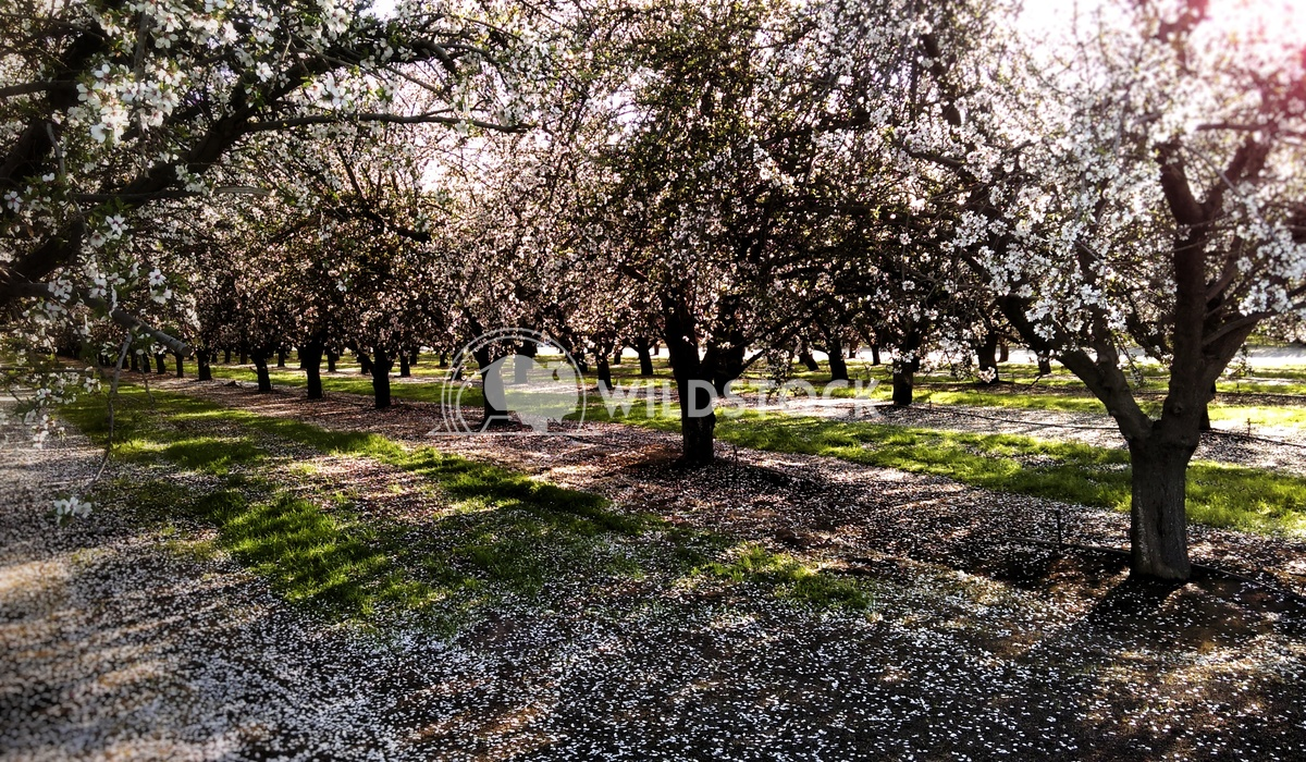 Sun Soaked Almonds Carolyne Vowell Almond orchards in the spring create some of the most beautiful backdrops.