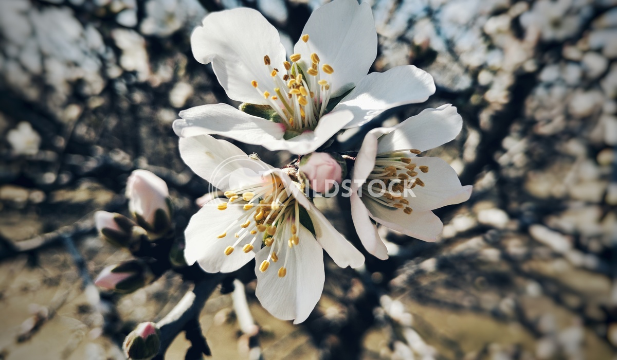 Almond Flowers Carolyne Vowell The delicate flowers of an almond tree in bloom.