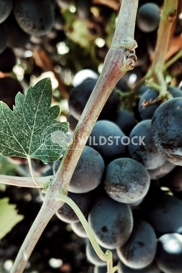 Black Grape Leaves Carolyne Vowell A close look at a vine with ripe grapes and bright green leaves.
