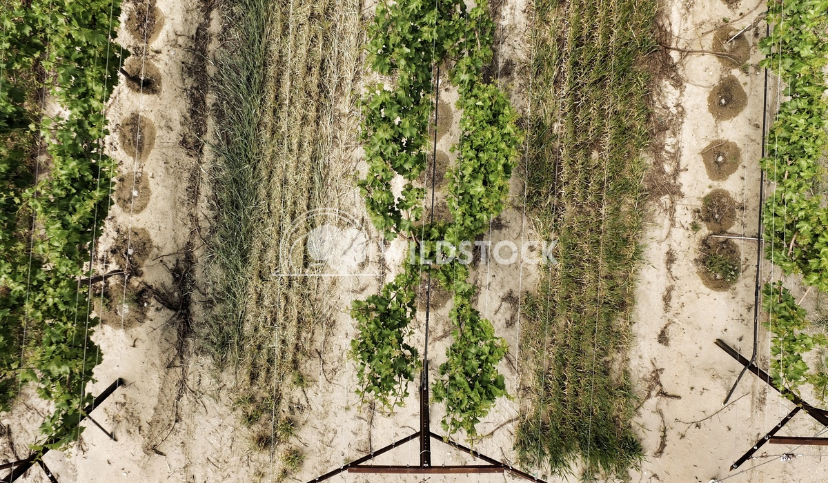 Drones Eye Vineyard View Carolyne Vowell The view of vineyard from directly above, showcasing the intricate trellis syst