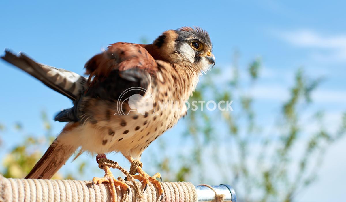 A beautiful low angle shot of an American kestrel bird on a blue sky background Erik Gonzalez Guerrero A beautiful low a