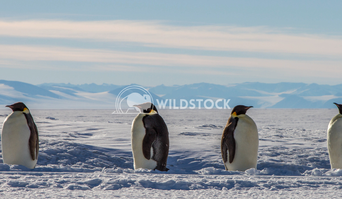Emperor Penguins  Laura Gerwin These Emperor Penguins are on the Ross Ice Shelf outside of McMurdo Station. This picture