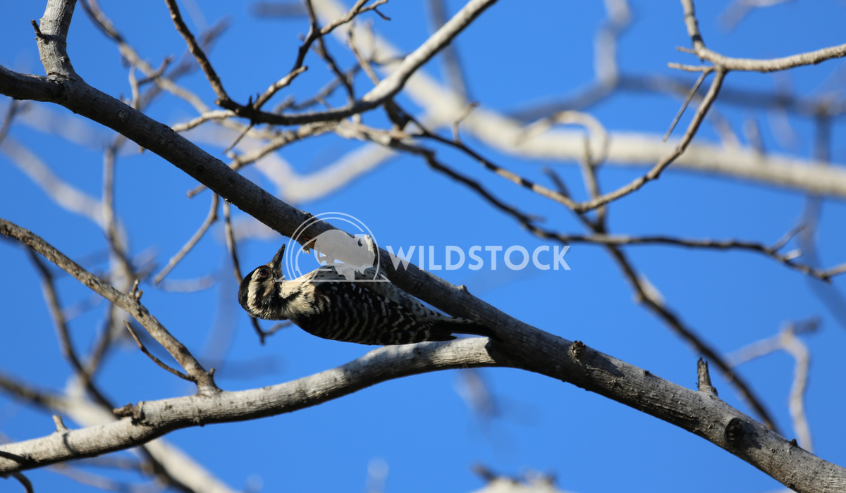 Baja Wood Peckin Henry McCluster