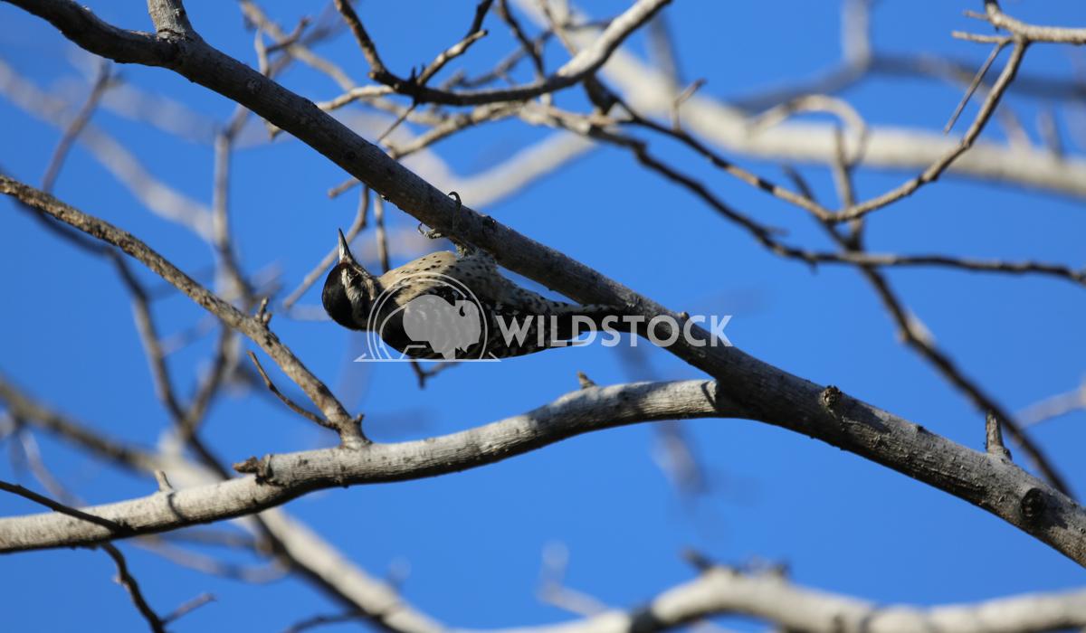 Baja Woodpecker Henry McCluster
