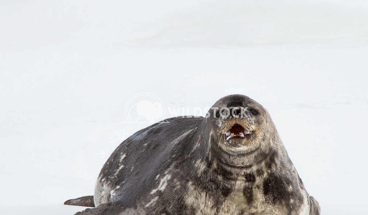 Wedel Seal Laura Gerwin Chilling on the Ross Ice Shelp outside of McMurdo Station
