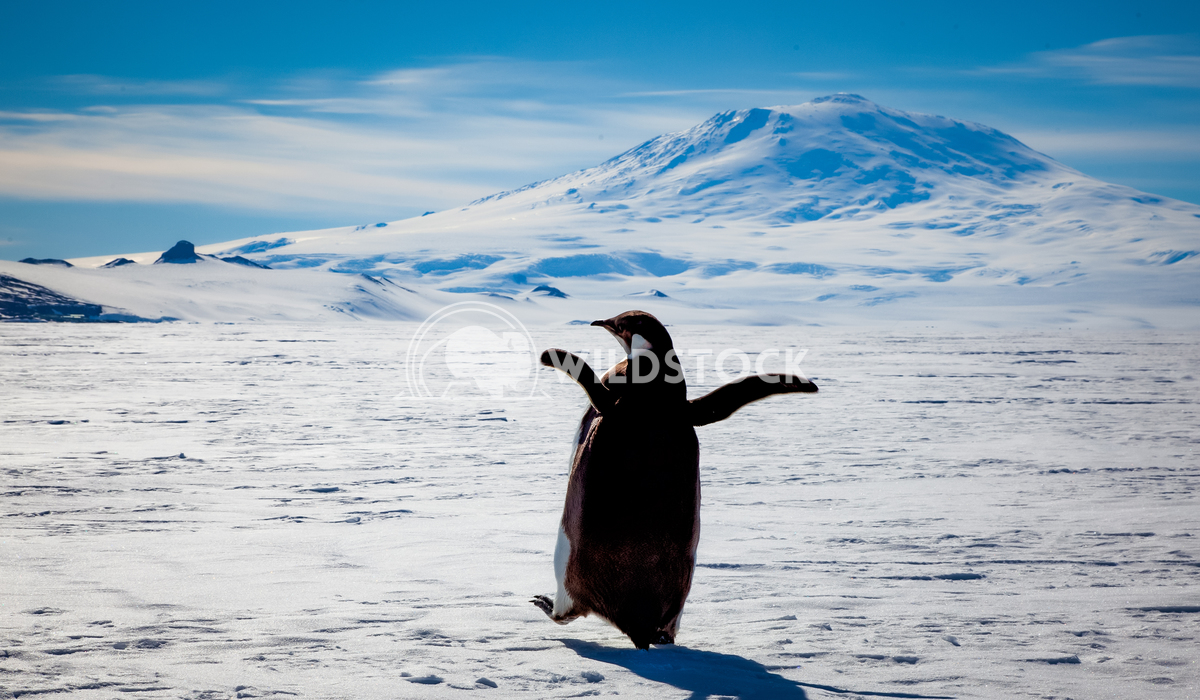 Disco Penguin Laura Gerwin In the shadows of Mt. Erebus at about 3 am this penguin and I did a little dance.