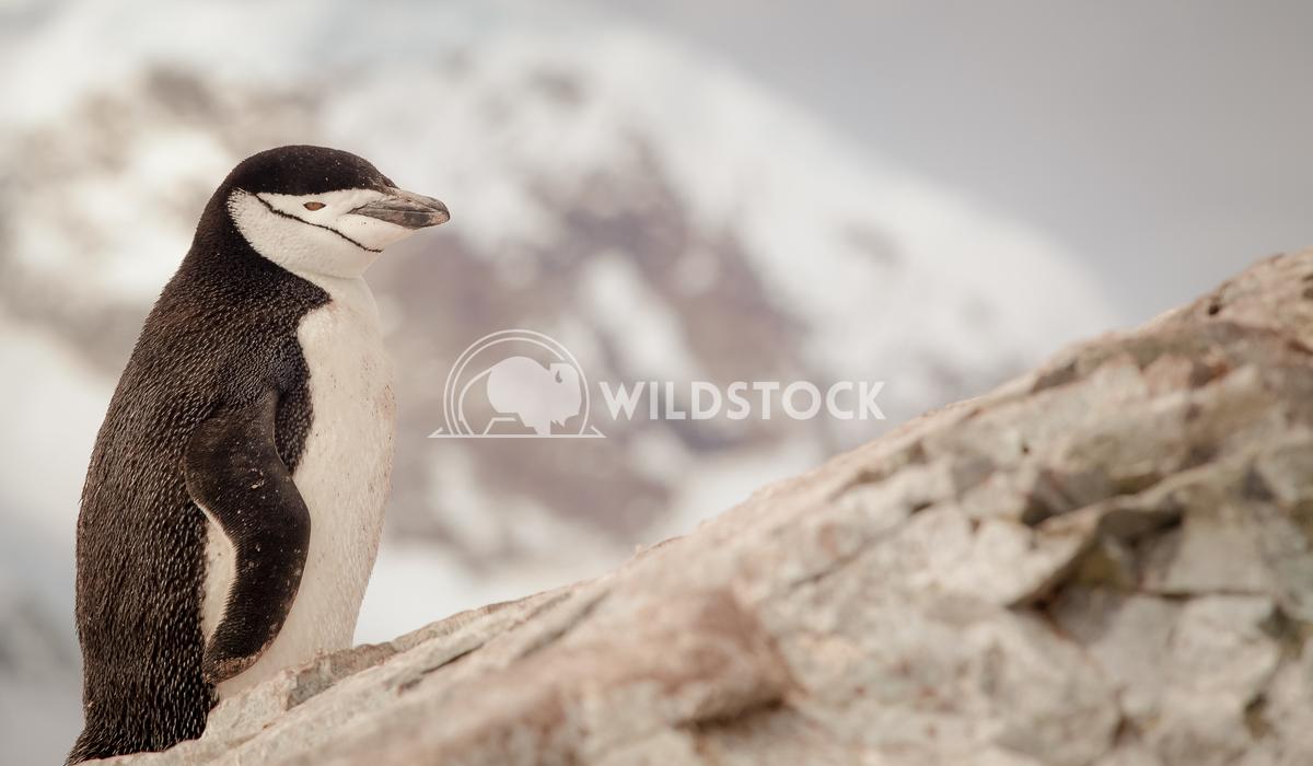 Chinstrap Penguin Laura Gerwin