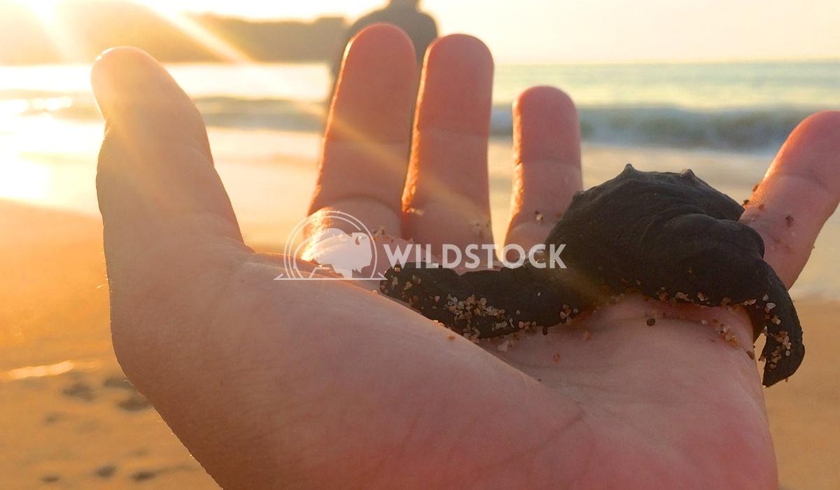 Release of Las Tortugas Hembras - Costa de Careyes, Mexico Devon Chivvis