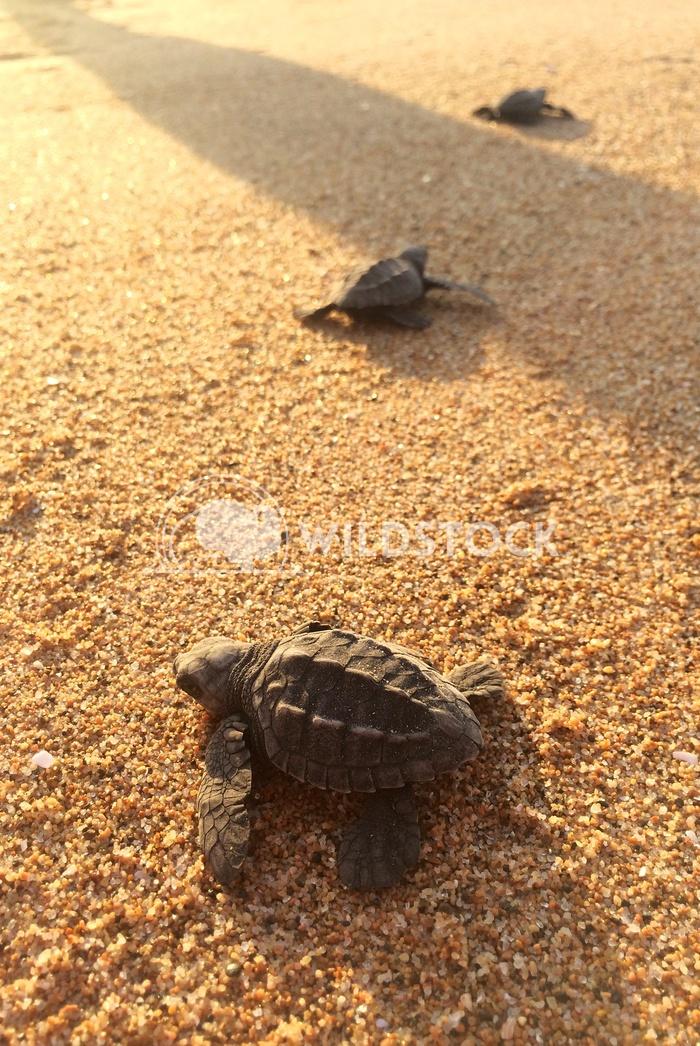 Las Tortugas IV - Costa de Careyes, Mexico Devon Chivvis
