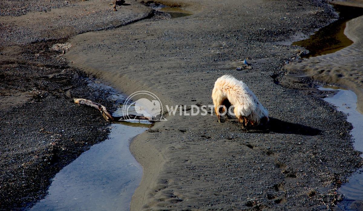 Bering Sea Bone Smuggler Henry McCluster Dog digging in Mud Flats of Bering Sea Inlet