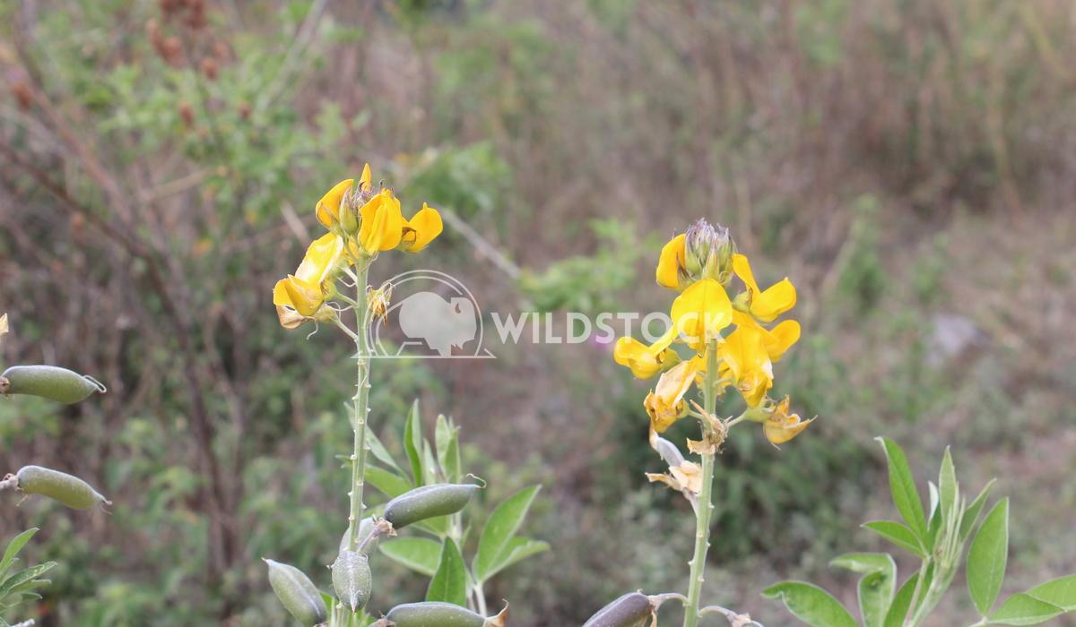 Flor amarilla Edwin Cruz