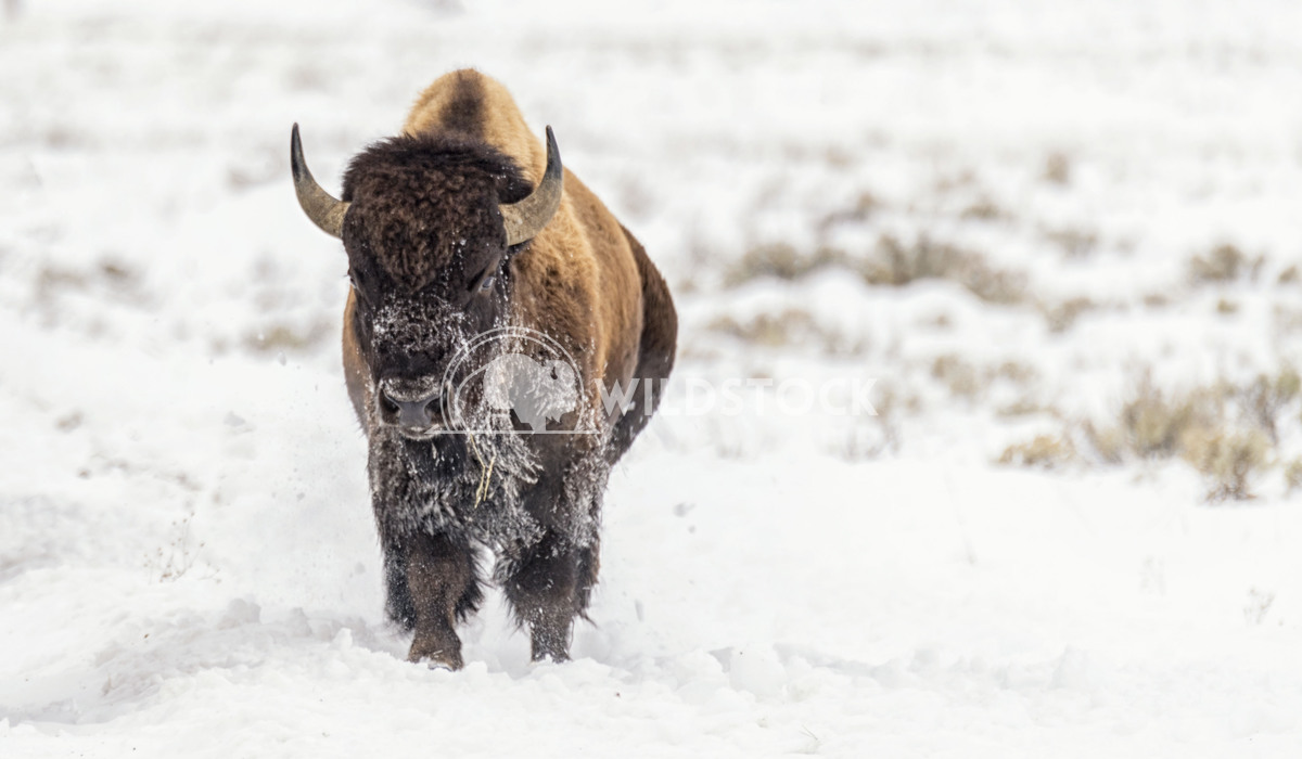 Bison in Snow Stacy White Bison running through the Snow in Grand Teton National Park