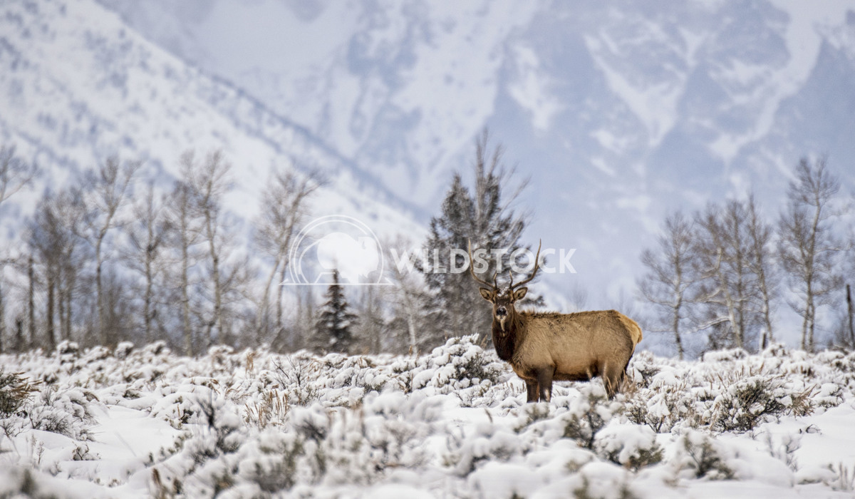 Elk in Snow Stacy White Watchful elk in Grand Teton National Park.