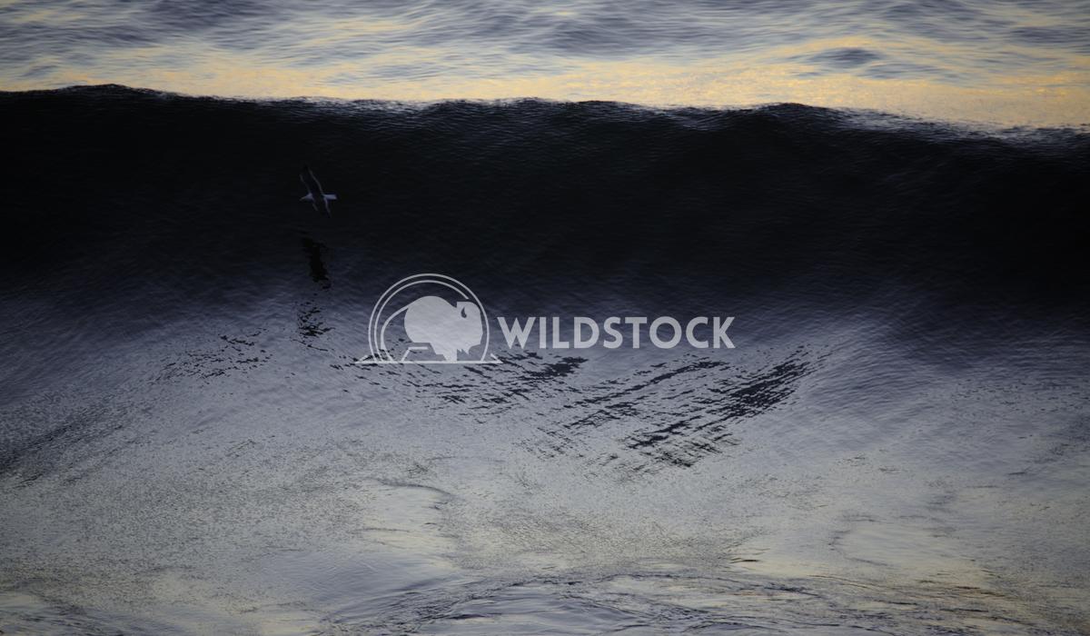 Big Sur Seagul Surfer Henry McCluster