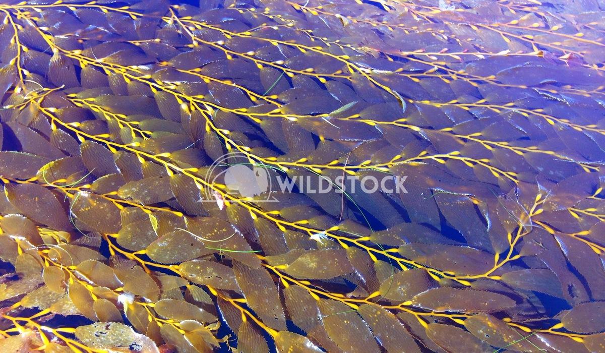 Kelp cushman gillen