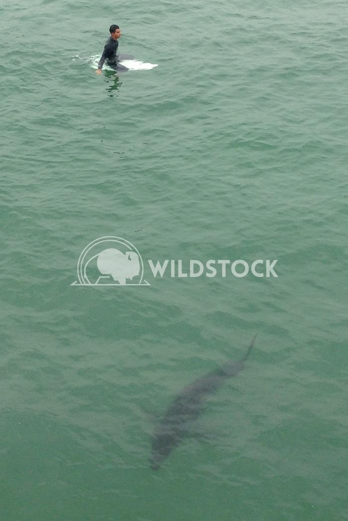 Shark and surfer 3 cushman gillen