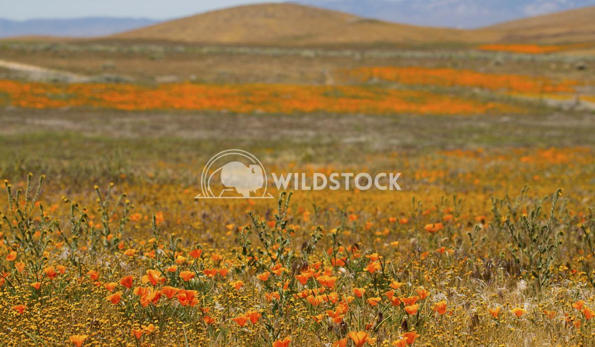 California Poppy Fields 02 Ronnie Knox