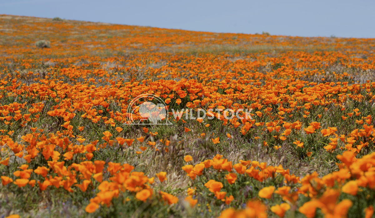California Poppy Fields 04 Ronnie Knox