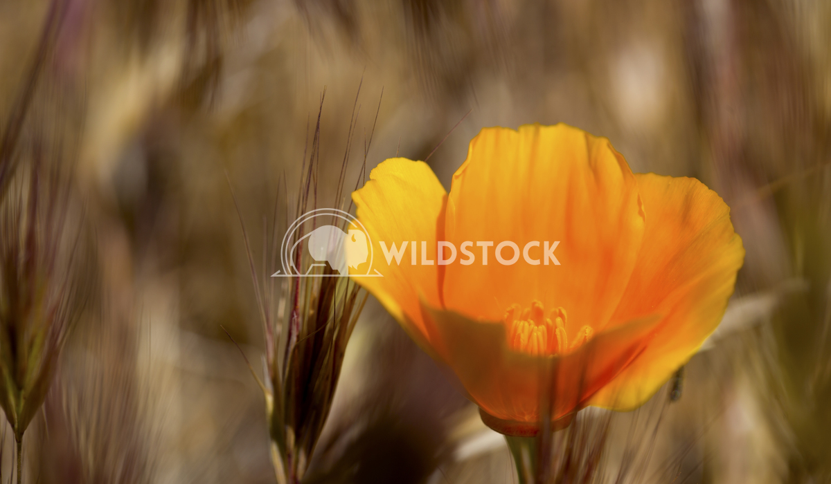 California Poppy 02 Ronnie Knox