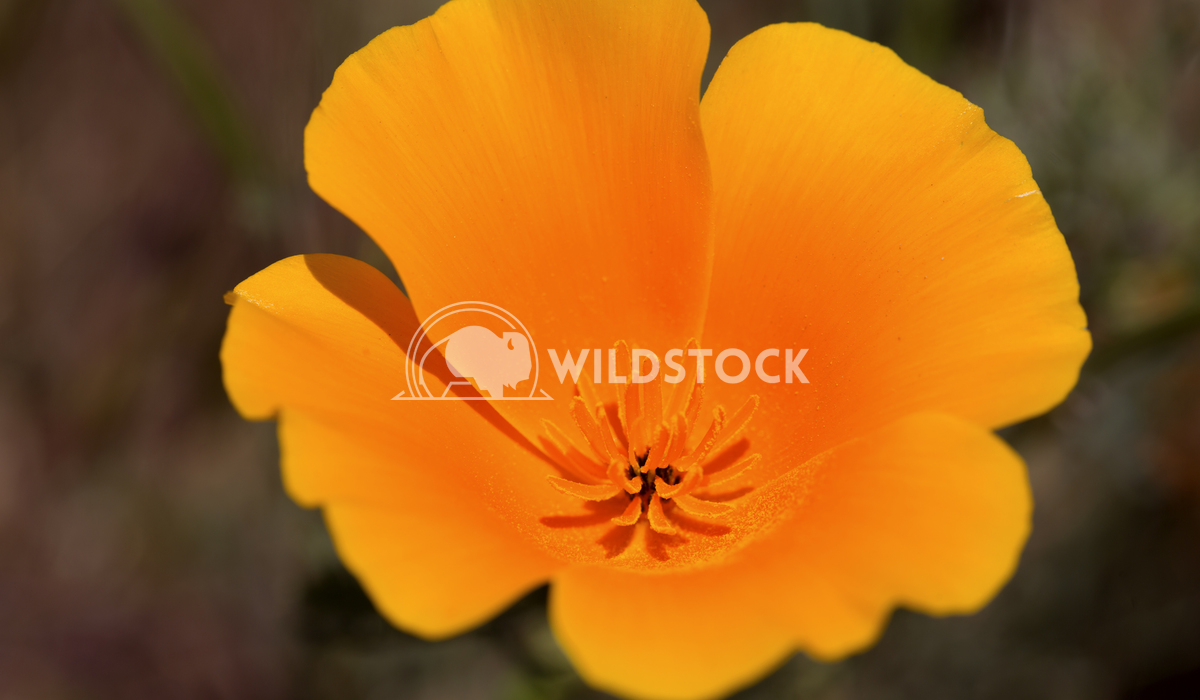California Poppy 01 Ronnie Knox
