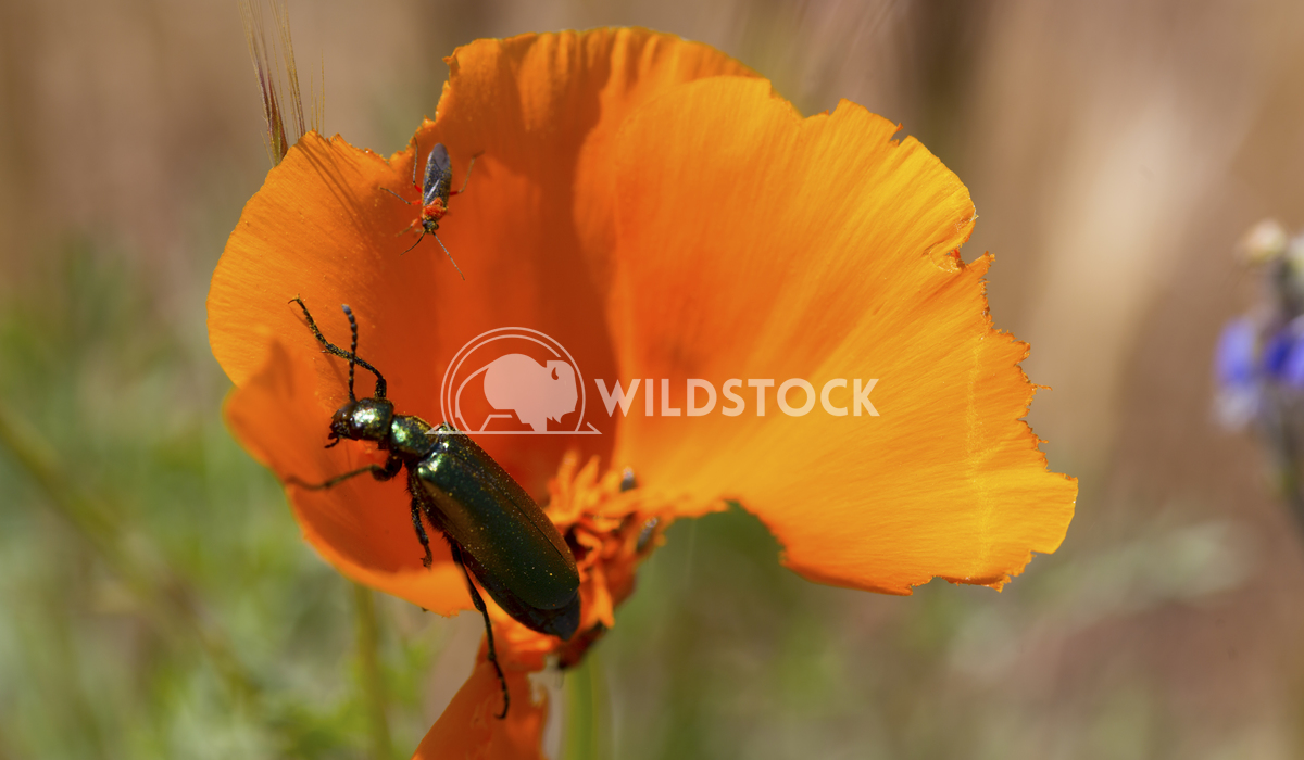 Beatle Eating California Poppy Ronnie Knox