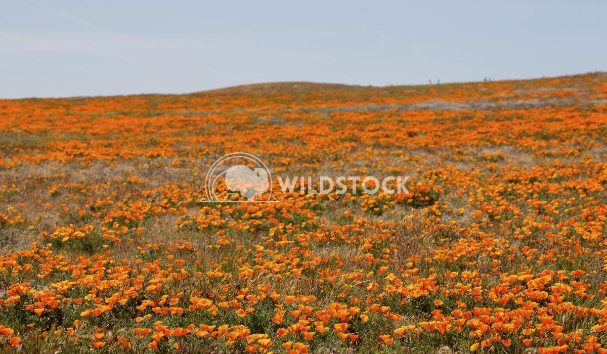 California Poppy Fields 03 Ronnie Knox