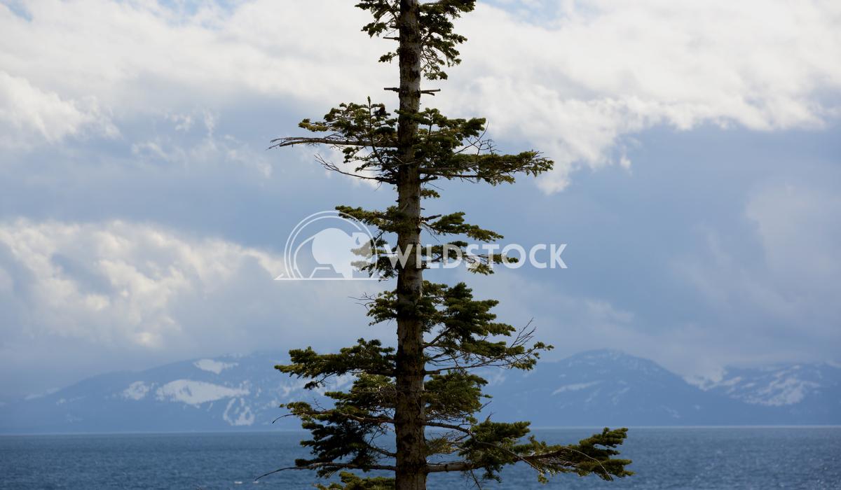 Tree & Lake Tahoe Ronnie Knox