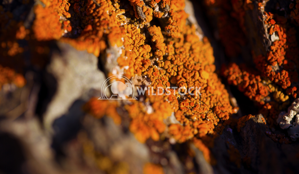 Orange Lichen 01 Ronnie Knox
