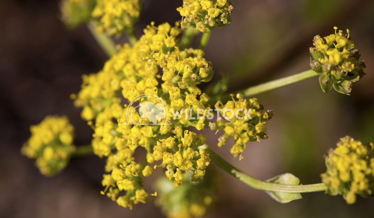 Yellow Wild Flower Ronnie Knox