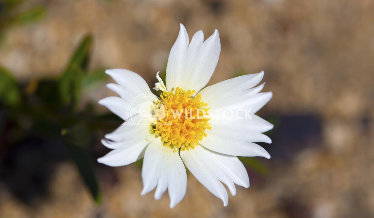 White Wild flower 03 Ronnie Knox