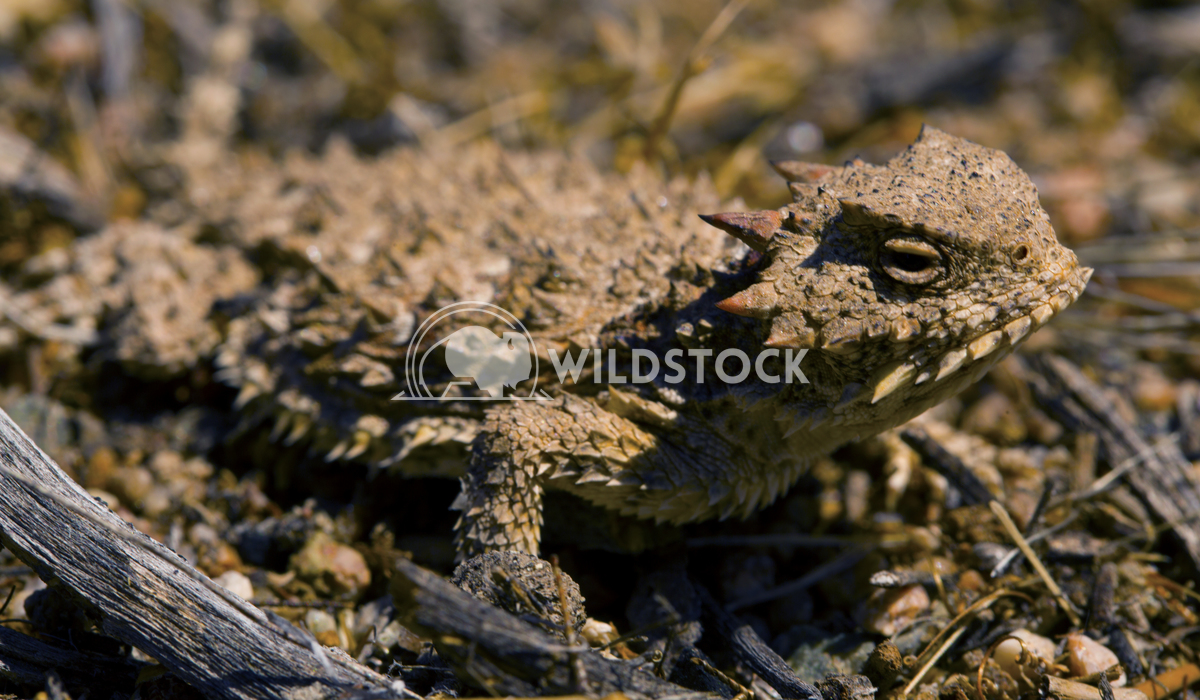 Desert Horned Lizard 01 Ronnie Knox