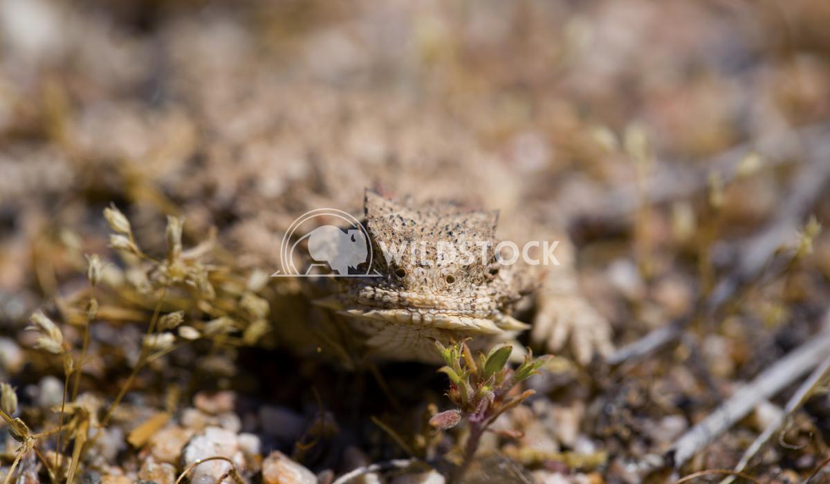 Desert Horned Lizard 02 Ronnie Knox