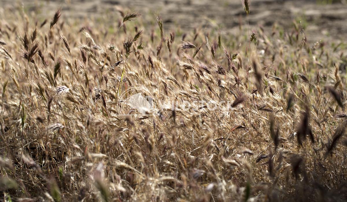 Desert Weed Field Ronnie Knox