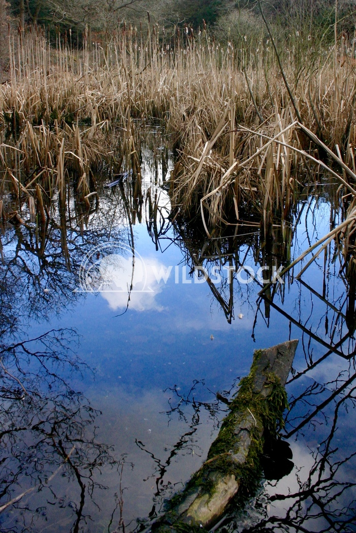 Reflections in Reed Pond Adam Clayton