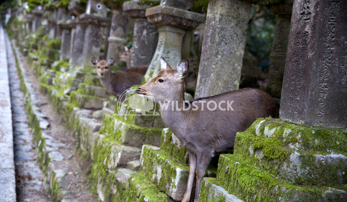 Sacred Deer Of Nara Japan 04 Ronnie Knox