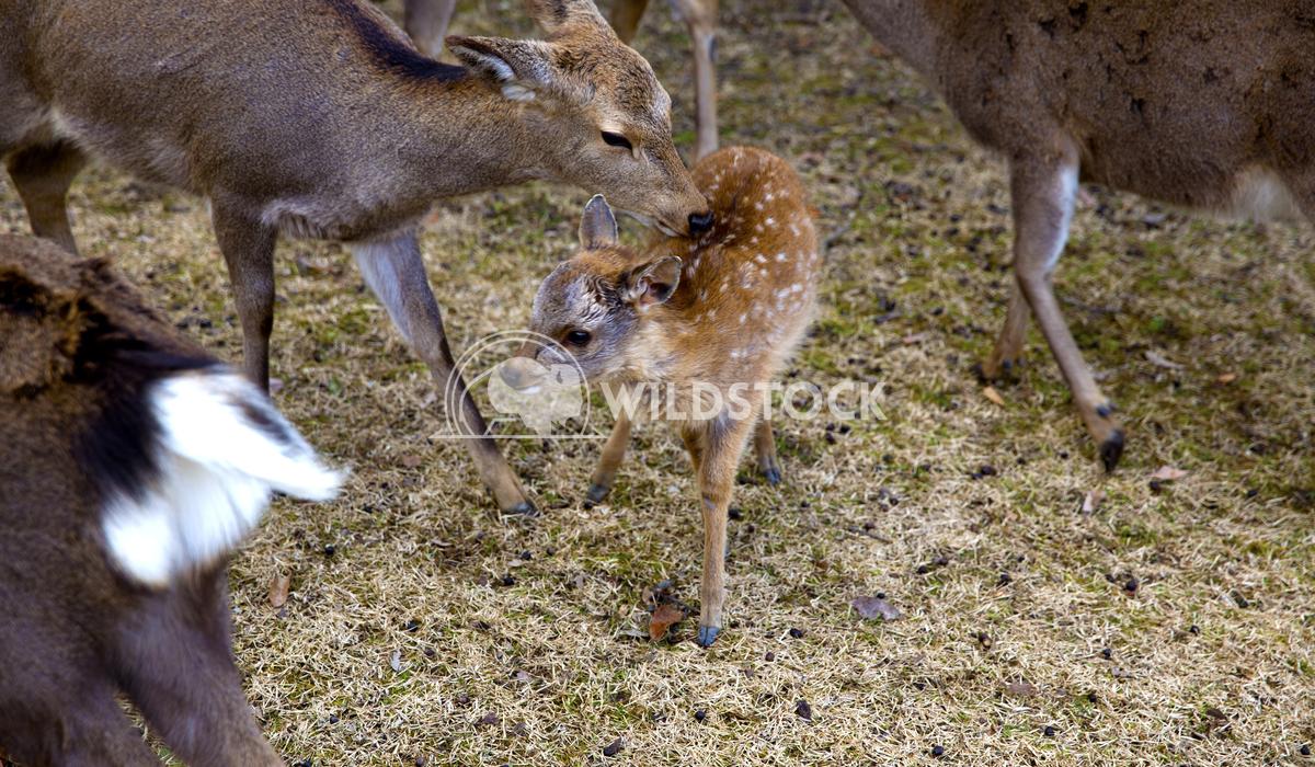Sacred Deer Of Nara Japan 01 Ronnie Knox