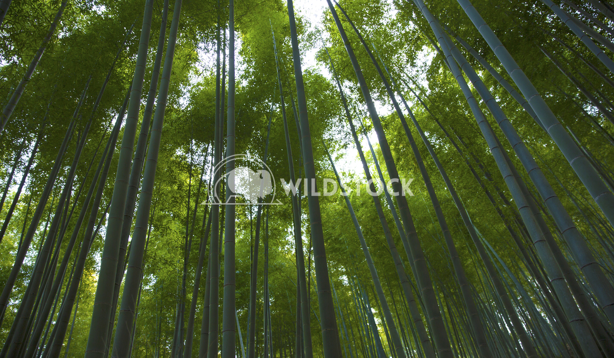 Bamboo Forest Ronnie Knox