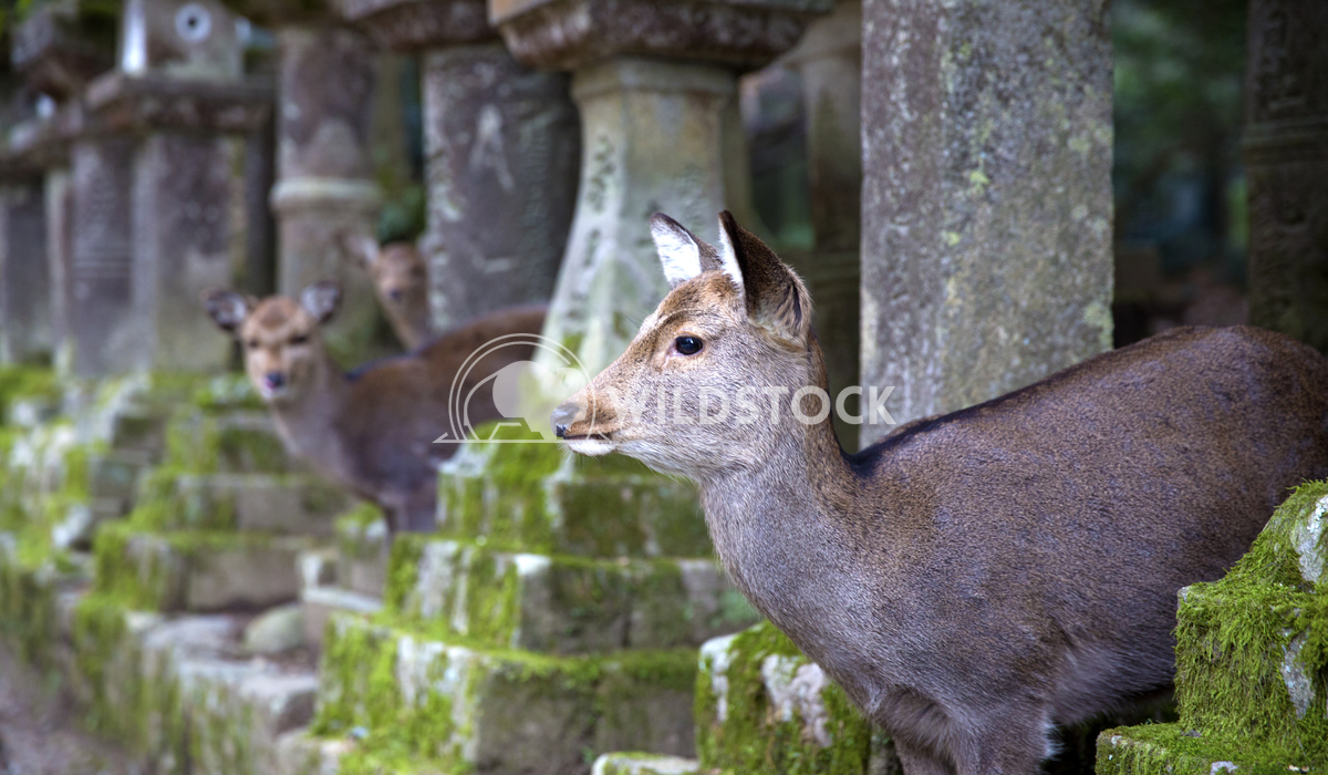 Sacred Deer Of Nara Japan 03 Ronnie Knox