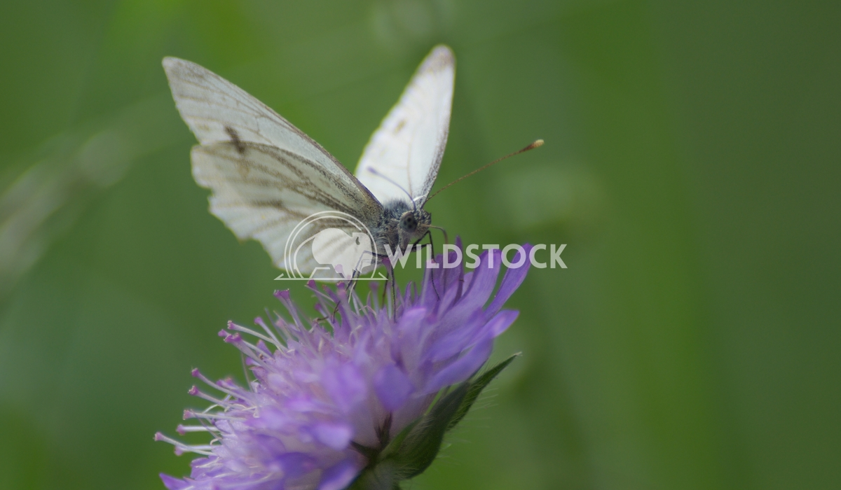 Butterfly Pink Lars Fricke White butterfly on pink flower having a drink.