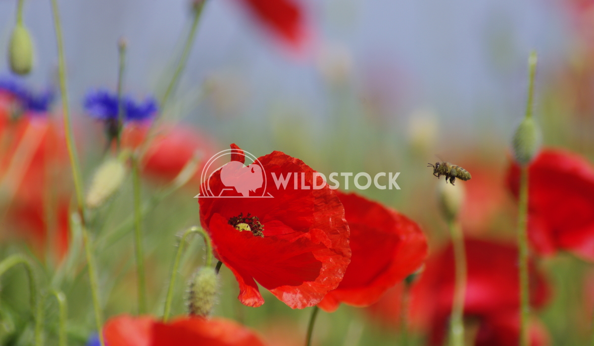 Poppy Summer Lars Fricke Vast Poppy fields on the island of Ruegen. A bee flying to collect from abundance.