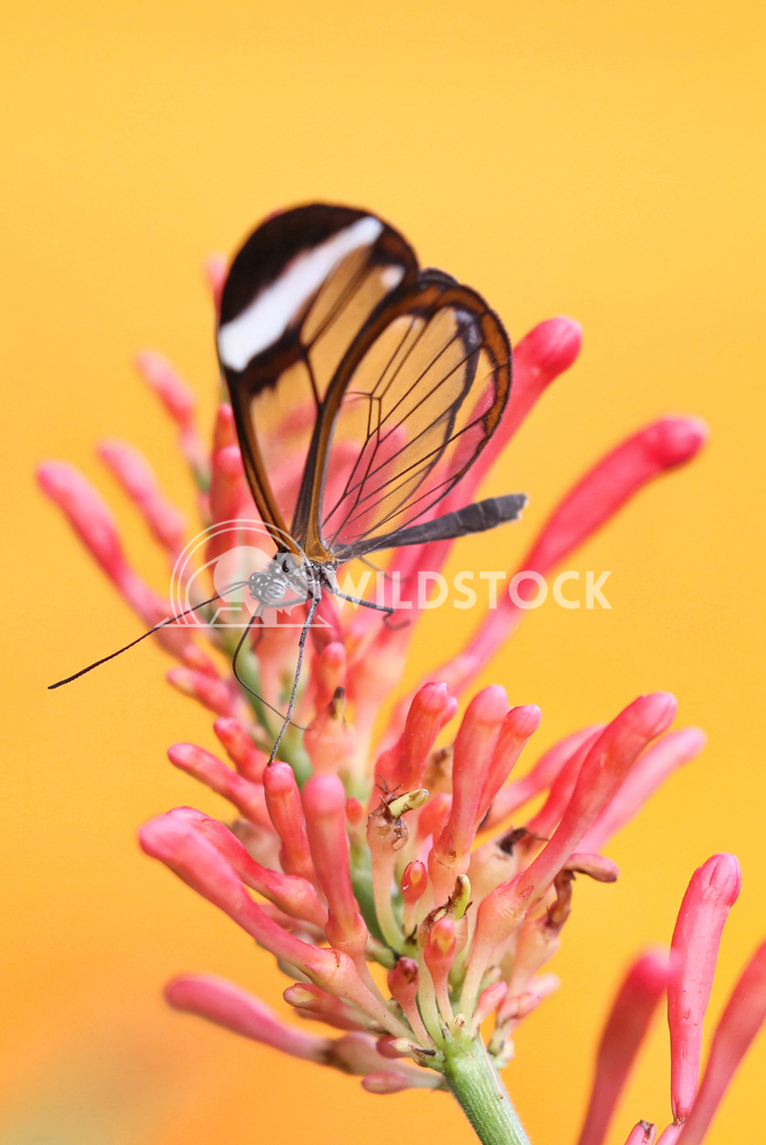 Butterfly on flower 1 Jane Hewitt Transparent Greta Oto butterfly on a pink flower with a bright yellow background