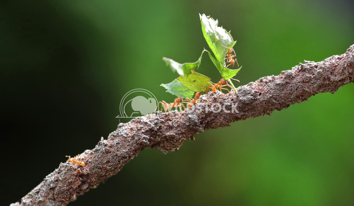 Leaf cutter ants 1 Jane Hewitt Leaf cutter ants on a single branch