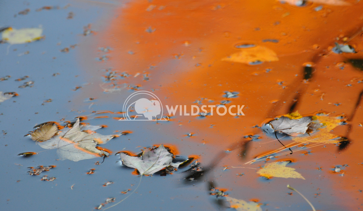 Maple Leaves Floating on Water with Fall/Autumn Reflections Justin Dutcher New Brunswick, Canada