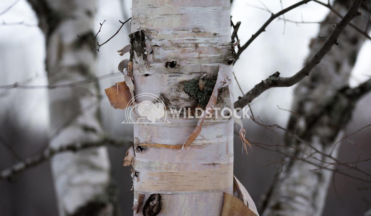 White Birch Trees in Winter Justin Dutcher