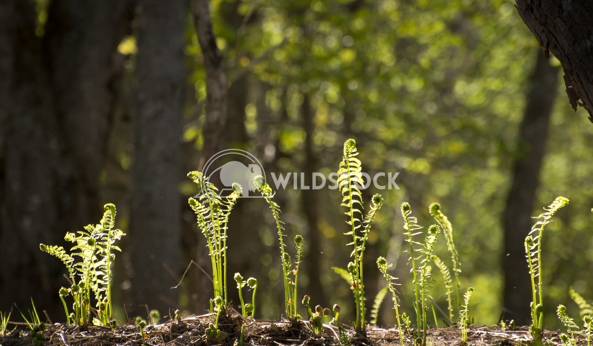 Growing Ferns / Fiddleheads along River in Forest Justin Dutcher Nashwaak River.